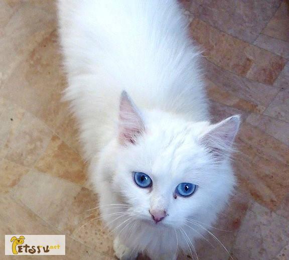Фото 1/1. Ангорская красавица с голубыми глазами в Омске