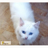 Ангорская красавица с голубыми глазами в Омске