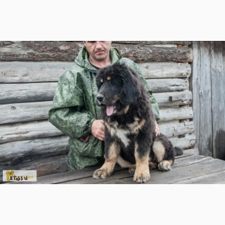 Тибетского Мастифа щенки. РКФ/FCI. в России