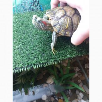 Отдам 2-х красноухих черепах