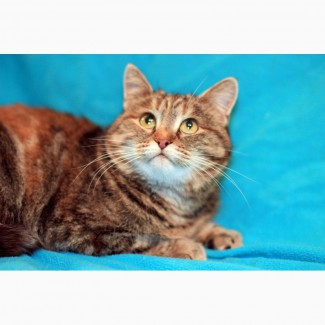 Кругленькая очаровашка кошка Карамелька в дар
