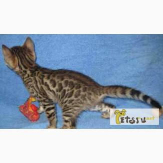 Бенгальские котята из питомника в Ногинске