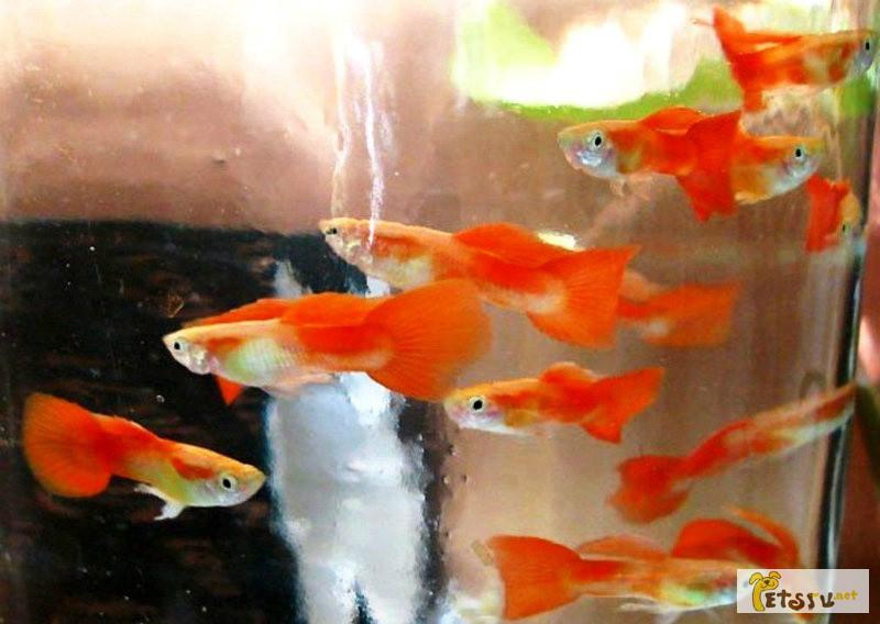 Фото 1/1. Гуппи - красивые мирные рыбки в Челябинске