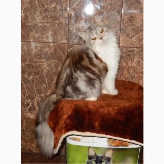 Продам шотландского котёнка хайленд страйт, Кострома