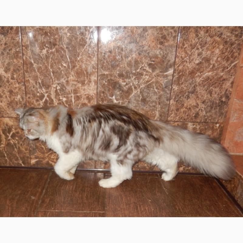 Фото 2/2. Продам шотландского котёнка хайленд страйт, Кострома