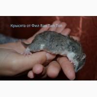 Продам Крысят