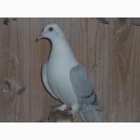 Продаю голубей разных пород