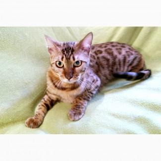 Мазда - бенгальская кошка с норовом ищет дом