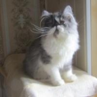 Персидская кошечка серебристый биколор 4.5 месяца от титулованных родителей