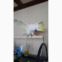 Возьму большого попугая в хорошие руки