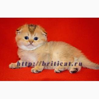 Шотландские вислоухие золотистые котята