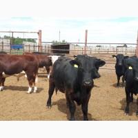 Бычки на доращивание мясных пород
