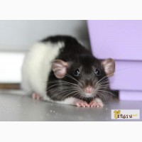 Крысята декоративные