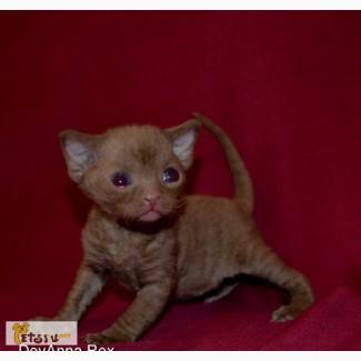 Девон рекс котята в Челябинске