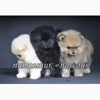 Продаются породистые щенки немецкого (померанского) шпица