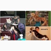 Крупный мейн кун, вязка, котята в Пензе
