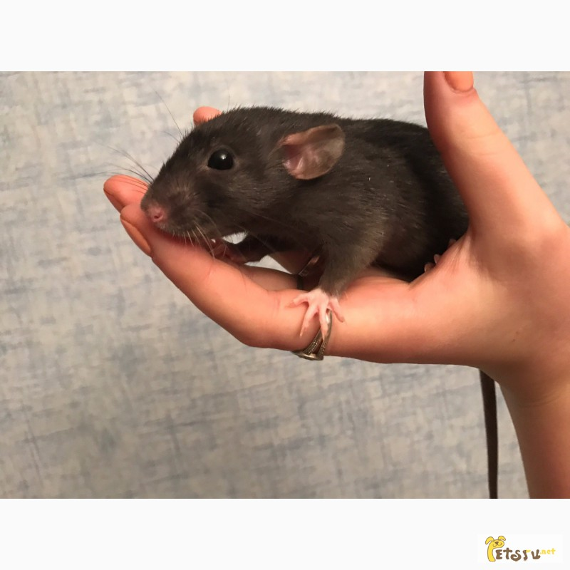 Фото 1/2. Отдам крыс в добрые руки