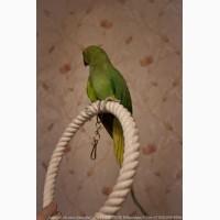 Ожереловый попугай, пара