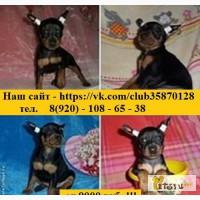 В продаже щеночки Карликового Пинчера в Иваново
