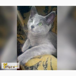 Продаются котята породы русская голубая Шоу класса из питомника Blue Grace