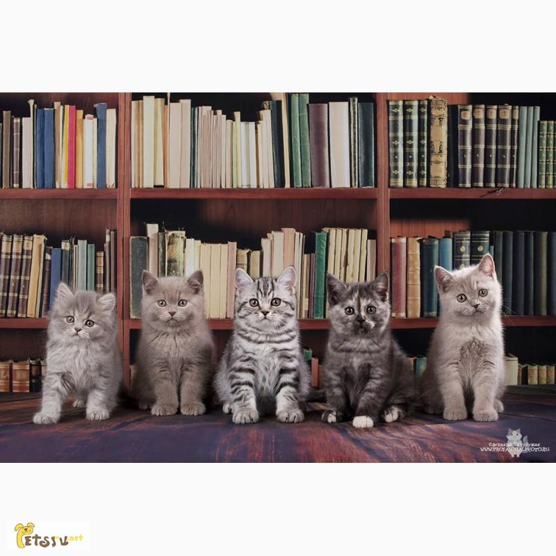 Фото 1/7. Британские котята