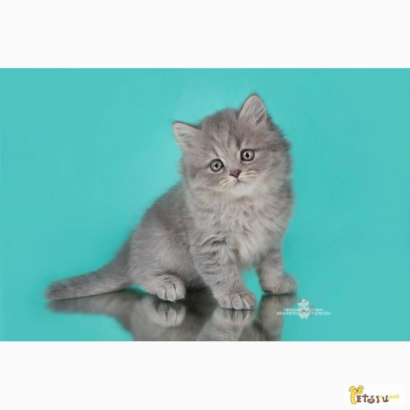 Фото 3/7. Британские котята