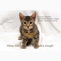 Котята породы Саванна - Кошка Саванна F5