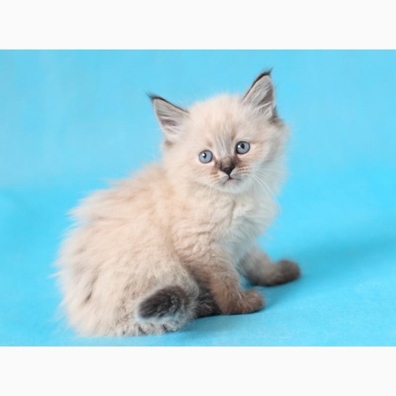 Фото 1/3. Невский Маскарадный котенок с отличной родословной
