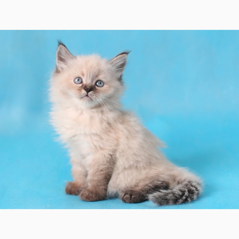 Фото 2/3. Невский Маскарадный котенок с отличной родословной