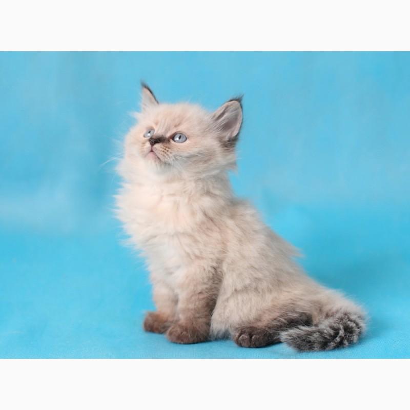 Фото 3/3. Невский Маскарадный котенок с отличной родословной