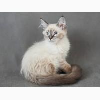 Невский Маскарадный котенок с отличной родословной