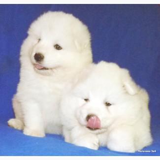 Продаю щенков самоедской собаки