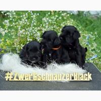 Цвергшнауцер черный щенки