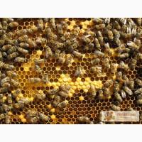 Пчелиная семья, пчелы