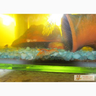 Аквариумные карликовые раки в Уфе