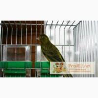 Кенар. Певчие птицы в Нижнем Новгороде
