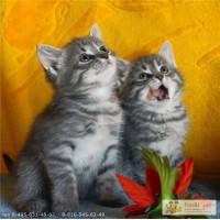 Котята-метисы лилового перса и чёрной ангоры
