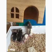 Капюшончатые и двухцветные крысята в хорошие руки