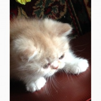 Экзотические кш котятам 2 месяца