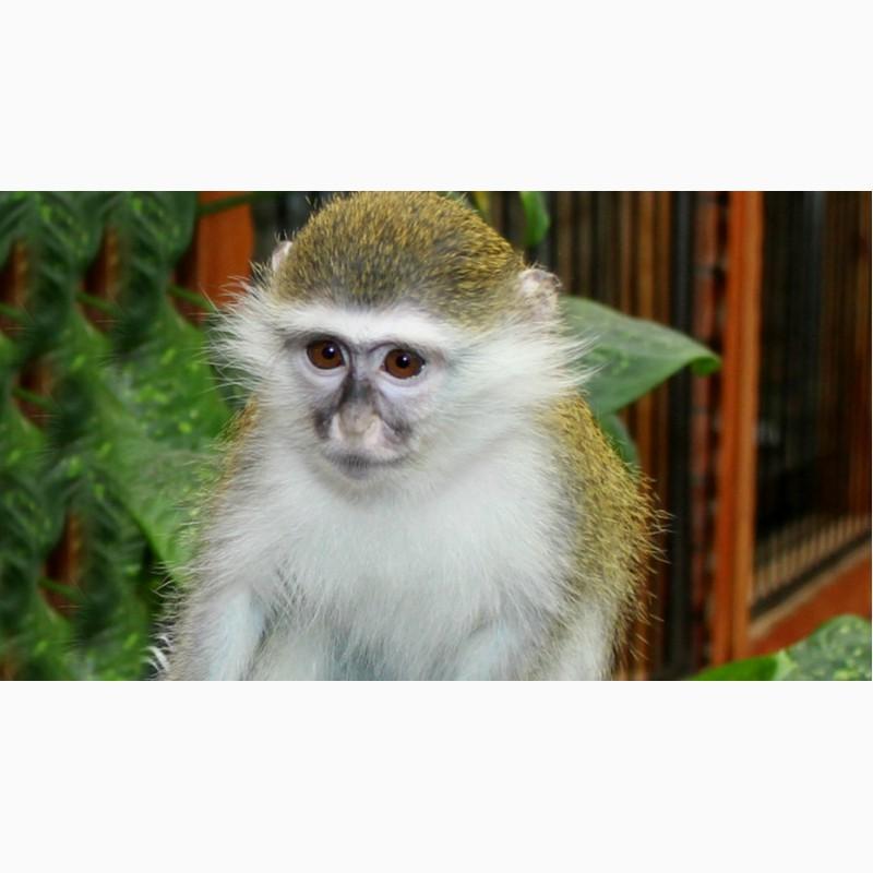 Фото 2/3. Живая зеленая мартышка или верветка – детально о покупке и содержании