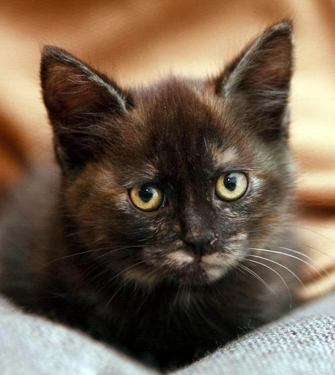 Фото 1/8. Крошка котенок Мерседес в дар