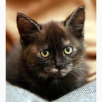 Крошка котенок Мерседес в дар