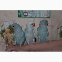 Ожереловый попугай ручные птенцы выкормыши
