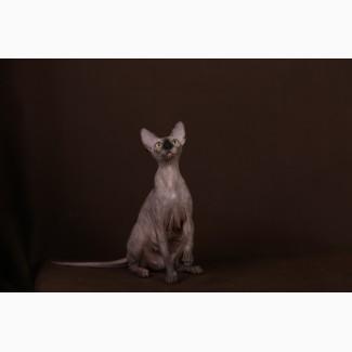 Котёнок с уникальным характером-Эльф, бамбино, сфинкс