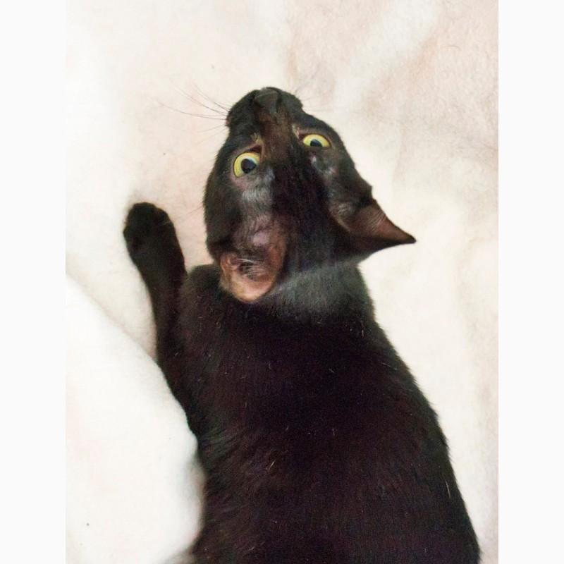 Фото 3/7. Изящные пантерки котята Лилит и Раиса ищут дом