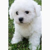 Очаровательные щенки Бишон Фризе