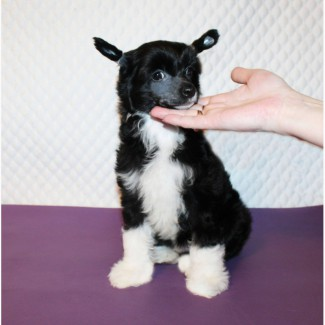 Очаровательный мальчик китайской хохлатой собаки