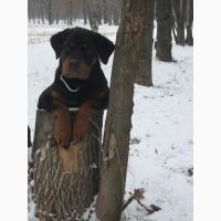 Ротвейлер щенок подрощенный