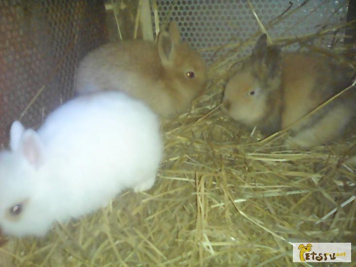 Фото 1/1. Продам 4 декоративных крольчонка породы карликовая лиса