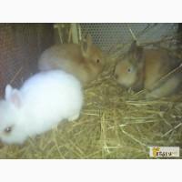 Продам 4 декоративных крольчонка породы карликовая лиса